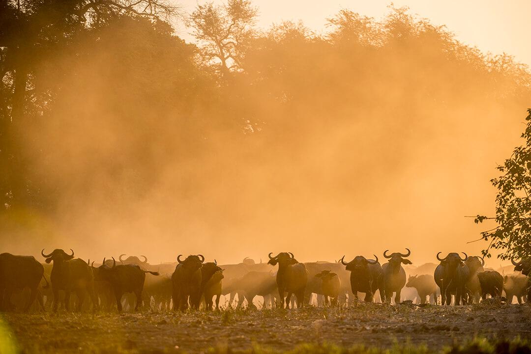 mana buffalo commission photograph