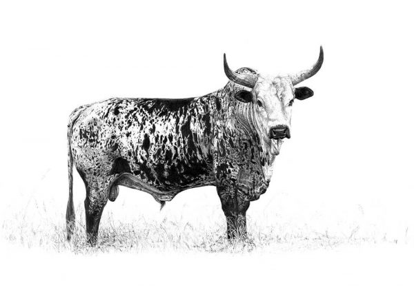 'Iraq' Nguni Bull by Malcolm Bowling