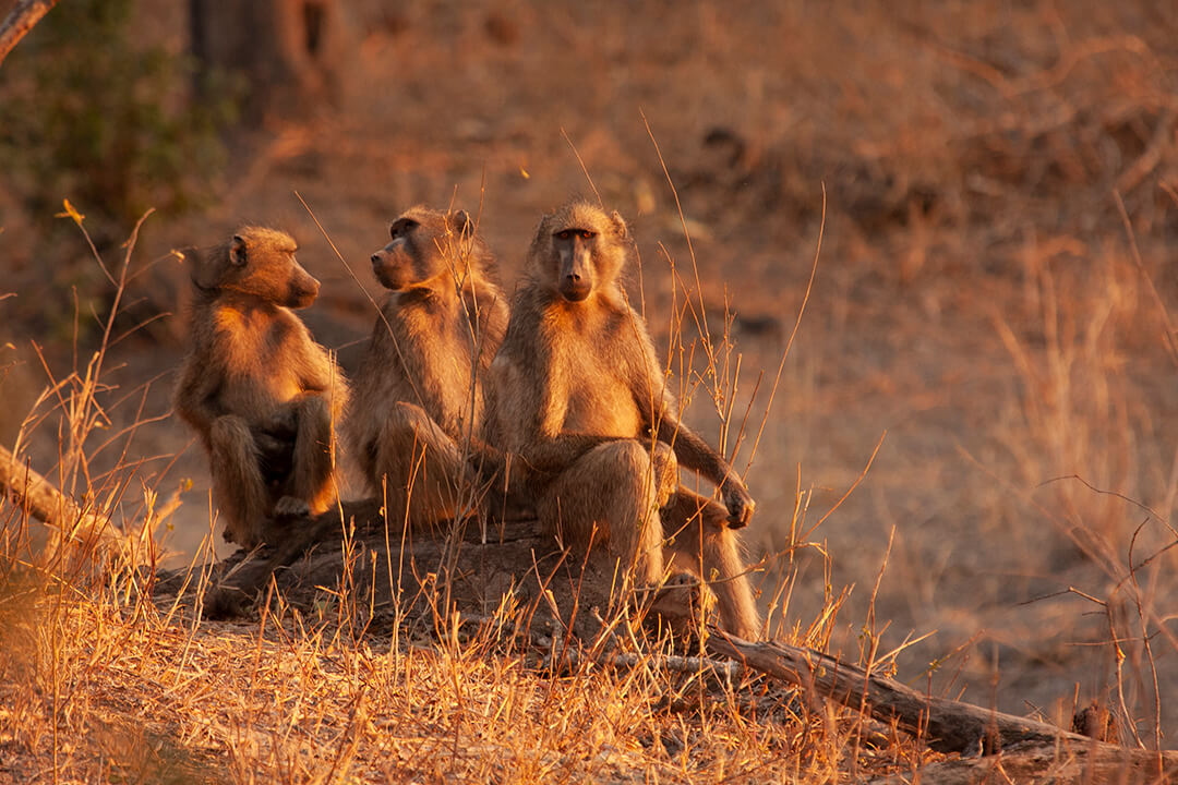 3 baboons - photograph by Malcolm Bowling
