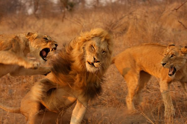 Lion fight 2 by Malcolm Bowling