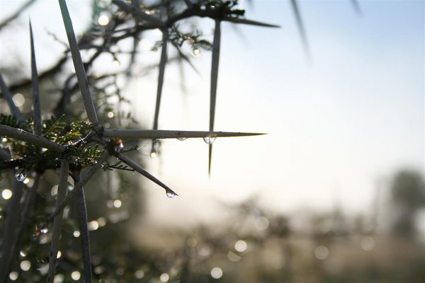 Acacia thorns - photograph by Malcolm Bowling