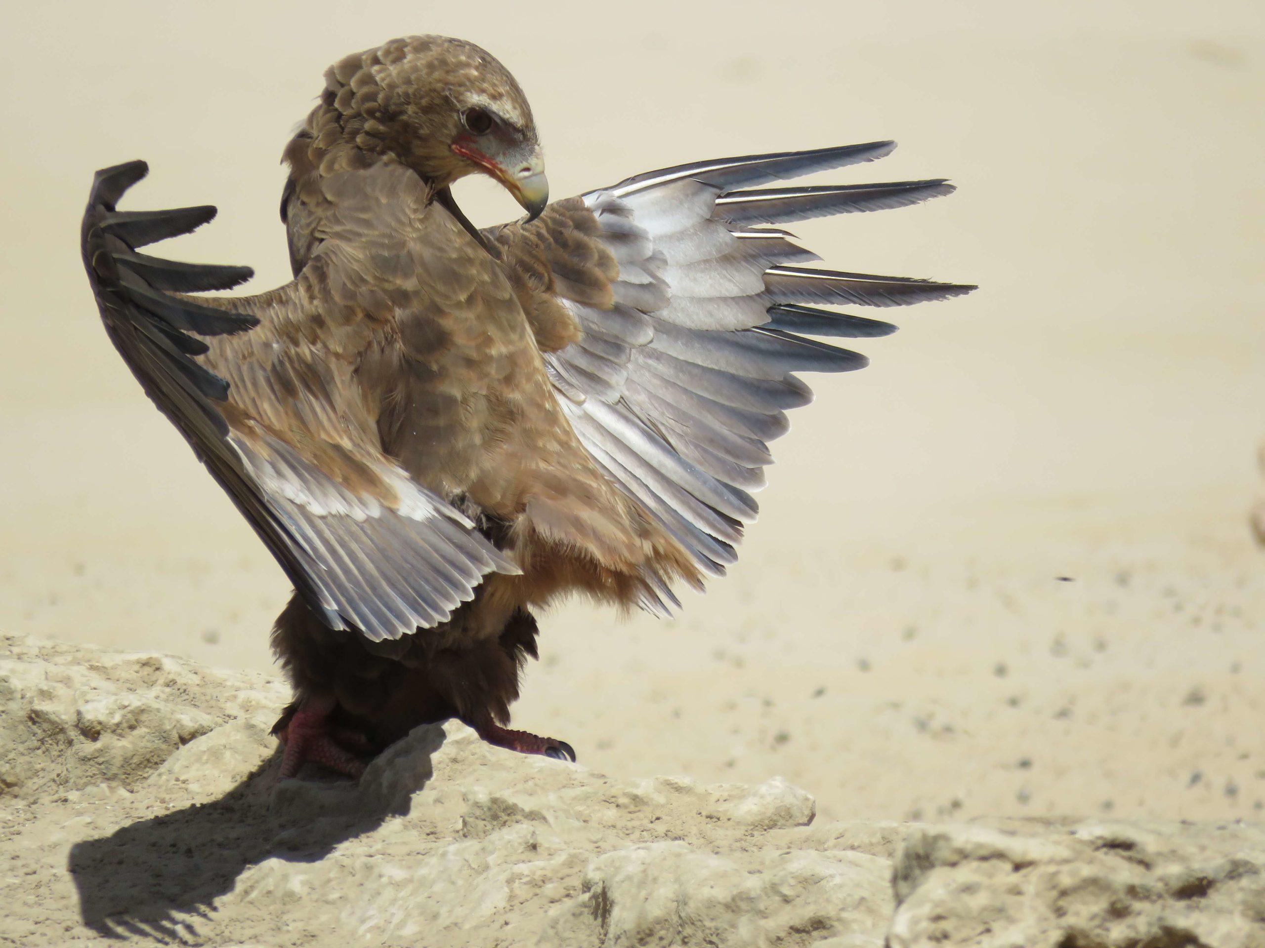 Juvenile Bataleur - photograph by Malcolm Bowling