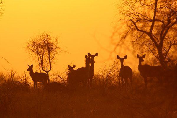 Kudu sunset 1 - photograph by Malcolm Bowling