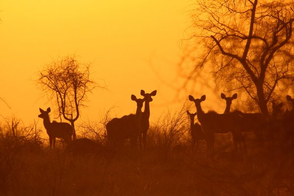 Kudu sunset 2 - photograph by Malcolm Bowling