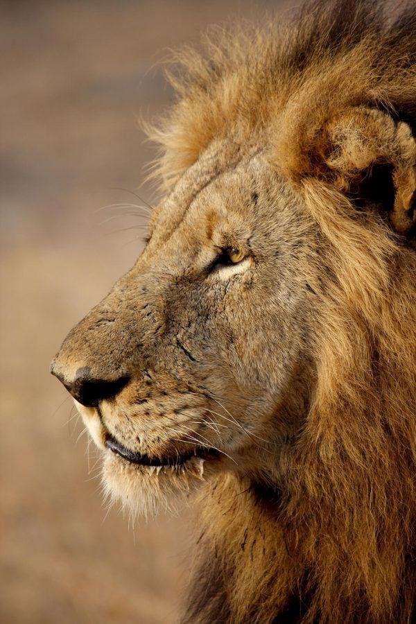 Lion profile - photograph by Malcolm Bowling