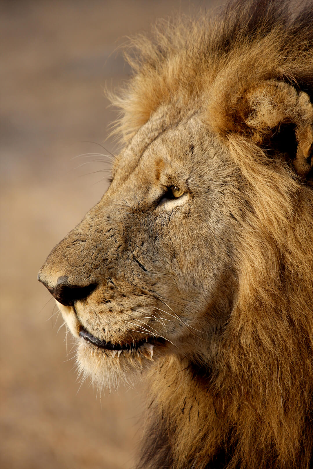 Lion profile - photograph by Malcolm Bowling