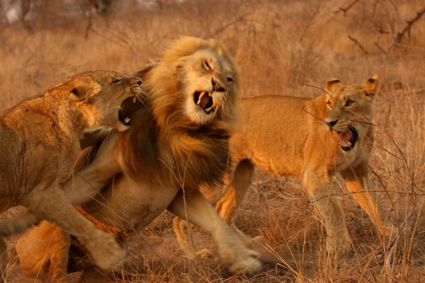 Lion fight - photograph by Malcolm Bowling
