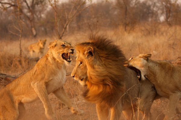 Lion fight 3 by Malcolm Bowling