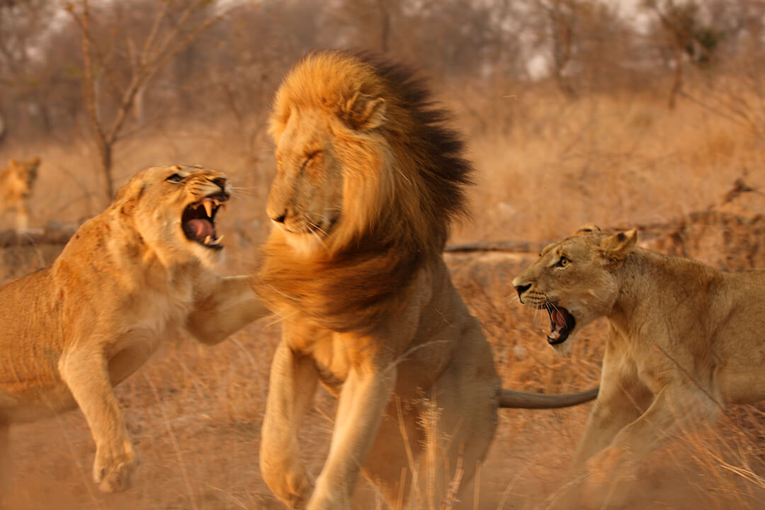 Lion fight 4 by Malcolm Bowling
