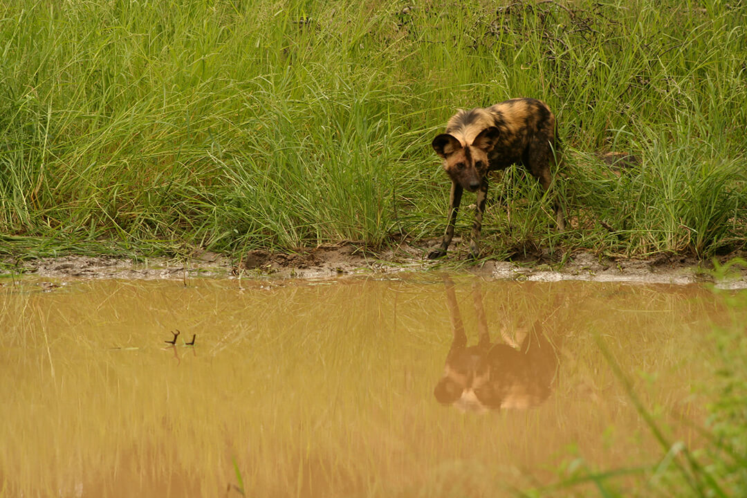 Wild dog Reflection photograph by Malcolm Bowling