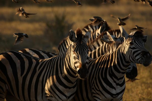 Zebra, Botswana photograph by Malcolm Bowling