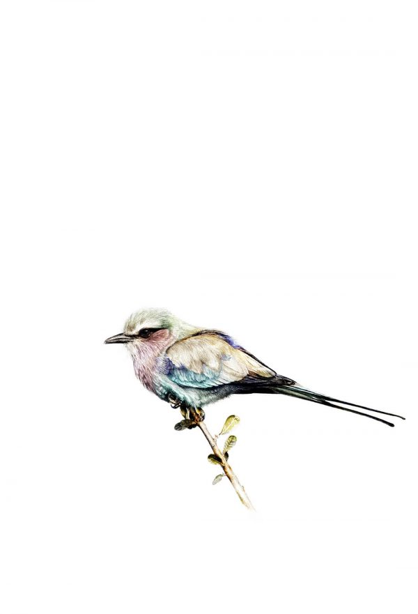 Lilac Breasted Roller digital colour print by Malcolm Bowling